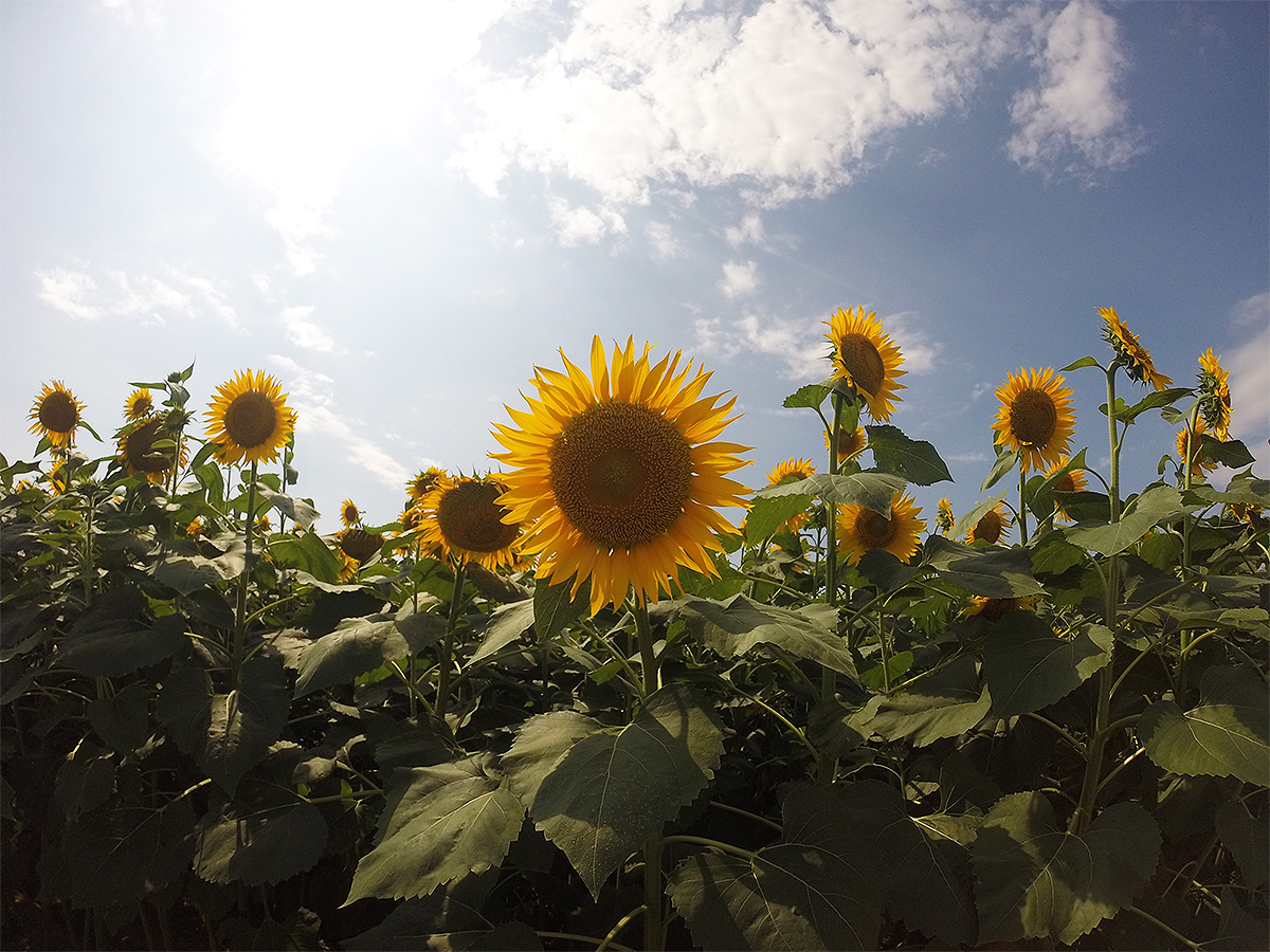 Diary vol. 27 「Sunflower Vibes」 Sunflower